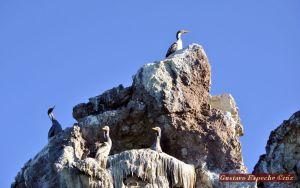 Cormoran roquero